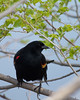 Red-winged Blackbird.  <br /> Boulder County, Colorado.
