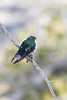 Violet-green Swallow (male)<br /> Park County, Wyoming