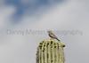 House Finch (female) on Saguaro<br /> Pima County, Arizona