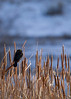 Red-winged Blackbird<br /> Pineridge Natural Area, Fort Collins, Colorado