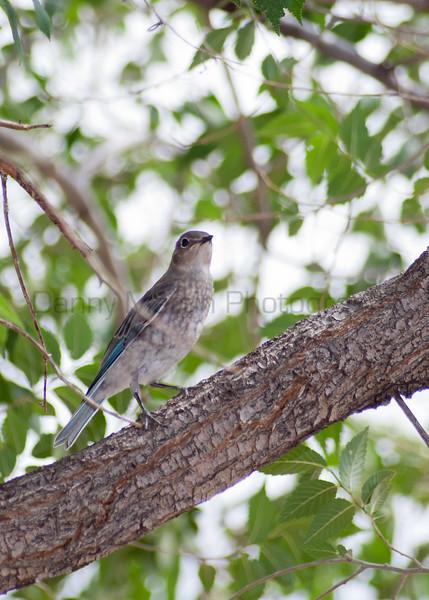 Mountain Bluebird<br /> Moffat County, Colorado.