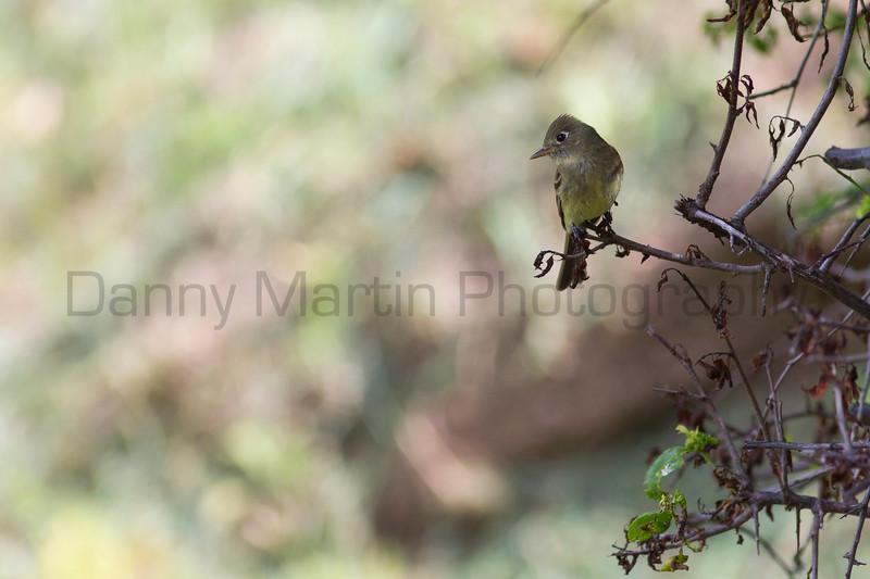 Cordilleran Flycatcher<br /> Larimer County, Colorado