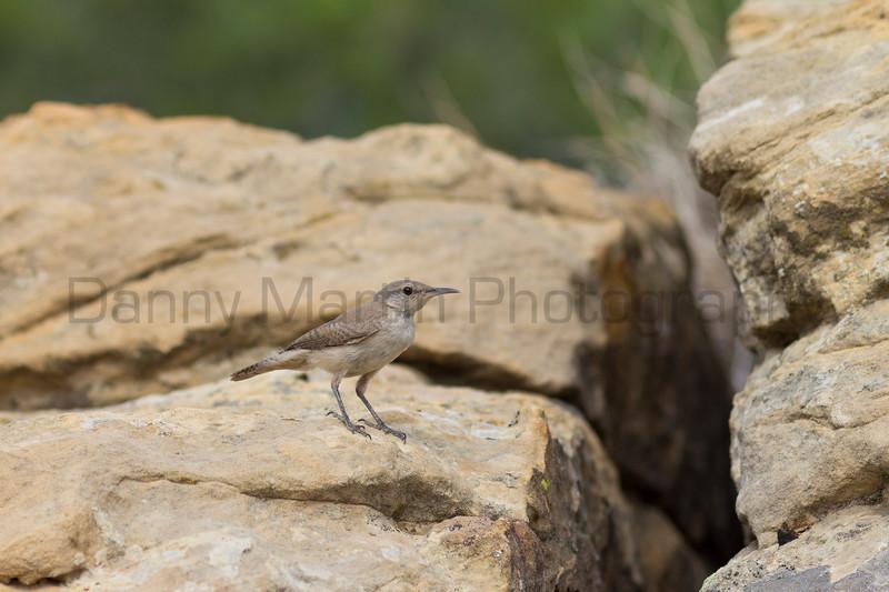 Rock Wren<br /> Las Animas County, Colorado.
