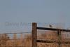 American Tree Sparrow<br /> Washington County, Colorado