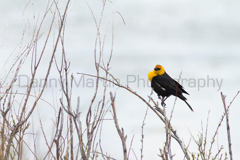 Yellow-headed Blackbird<br /> Jackson County, Colorado