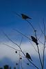 Cowbirds<br /> Autumn, near Cameron Pass, Colorado