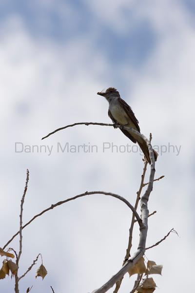 Ash-throated Flycatcher (with cicada)<br /> Comanche National Grassland, Otero County, Colorado.