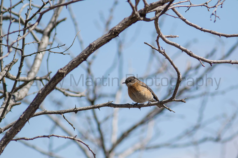 Western Bluebird<br /> Pima County, Arizona