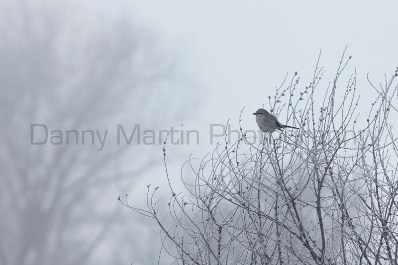 Northern Shrike<br /> Larimer County, Colorado