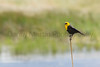 Yellow-headed Blackbird (male)<br /> Jackson County, Colorado.