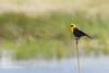 Yellow-headed Blackbird (male)<br /> Jackson County, Colorado.