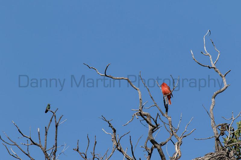 Summer Tanager & Broad-billed Hummingbird<br /> Pima County, Arizona