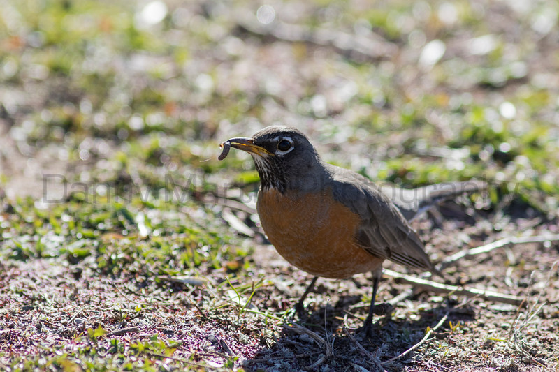 American Robin (female) with grub prey<br /> Larimer County, Colorado