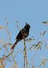 Phainopepla (male)<br /> Pima County, Arizona