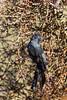 Phainopepla (male) perched in mistletoe<br /> Pima County, Arizona