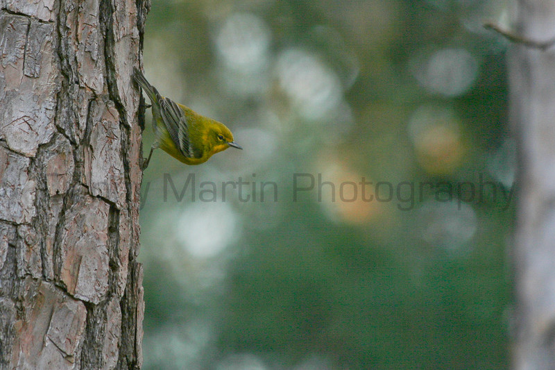 Pine Warbler<br /> Alpharetta, Georgia.