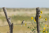 Loggerhead Shrike<br /> Las Animas County, Colorado.