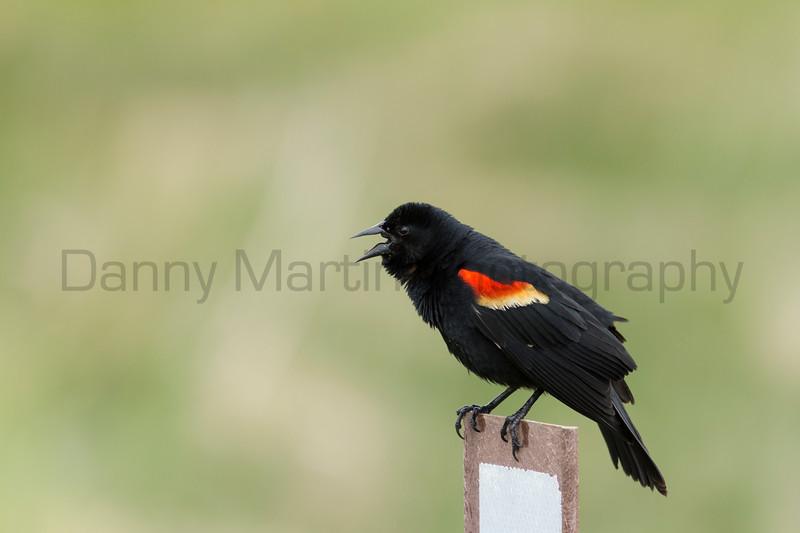 Red-winged Blackbird (male, singing)<br /> Jackson County, Colorado.