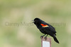 Red-winged Blackbird (male, singing)<br /> Jackson County, Colorado.