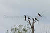 Common Grackles<br /> Sedgwick County, Kansas
