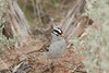 White-crowned Sparrow<br /> Grand County, Utah