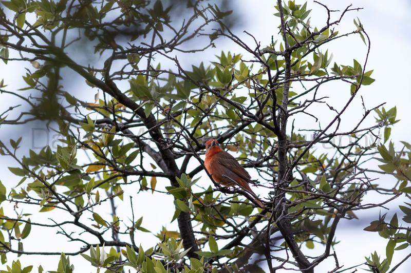 Hepatic Tanager (male)<br /> Santa Cruz County, Arizona
