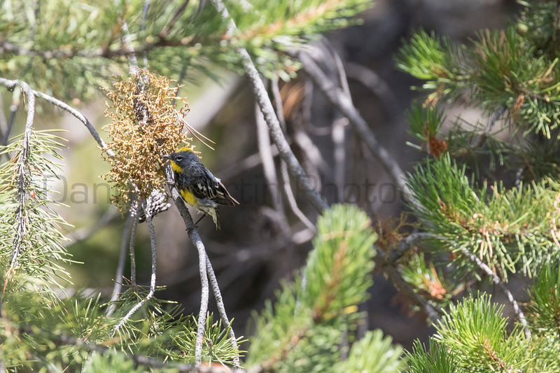 Yellow-rumped Warbler<br /> Park County, Wyoming