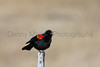 Red-winged Blackbird calling<br /> Gunnison County, Colorado