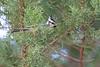 Bridled Titmouse perched in juniper<br /> Pima County, Arizona