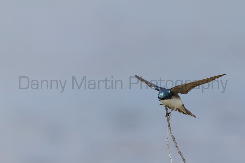 Tree Swallow fighting the wind for a perch<br /> Jackson County, Colorado.