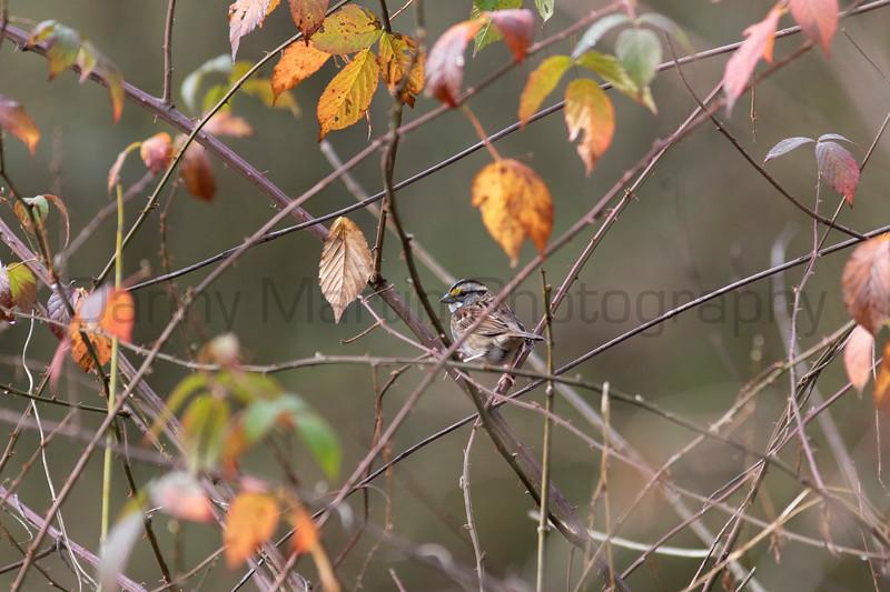 White-throated Sparrow<br /> Forsyth County, Georgia
