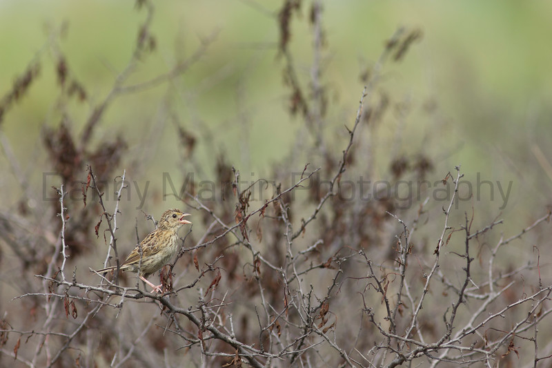 Grasshopper Sparrow on sandhill plum<br /> Pratt County, Kansas.