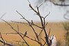 Clay Colored Sparrow<br /> El Paso County, Colorado.
