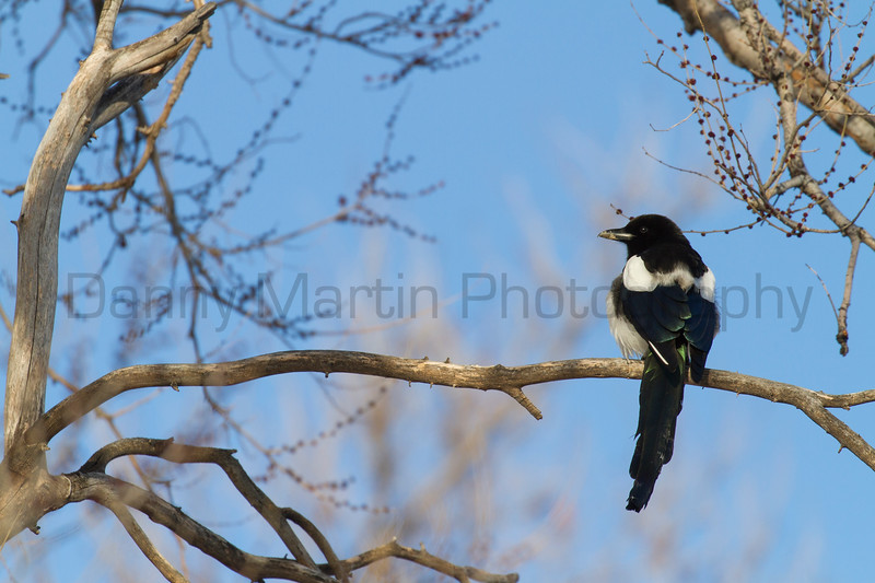 Black-billed Magpie<br /> Pineridge Natural Area, Fort Collins, Colorado