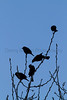 Red-winged Blackbirds<br /> Larimer County, Colorado