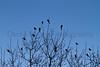 Red-winged Blackbirds<br /> Larimer County, Colorado