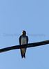 Purple Martin perched on phone line<br /> Pratt County, Kansas