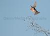 Vermilion Flycatcher (male, in flight)<br /> Pima County, Arizona