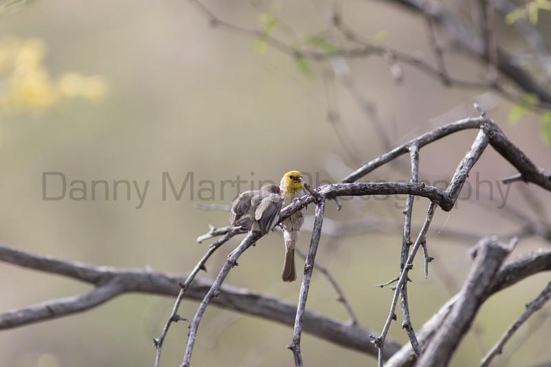 Verdin feeding juvenile<br /> Pima County, Arizona