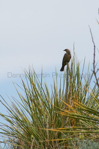Cowbird on yucca.  <br /> Pawnee National Grassland, Weld County, Colorado.