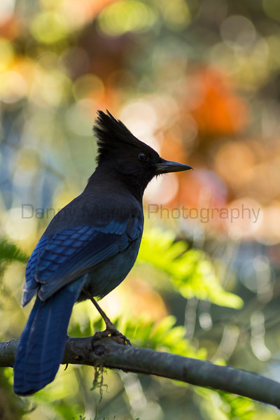Steller's Jay<br /> Cedar Mill Creek, Oregon