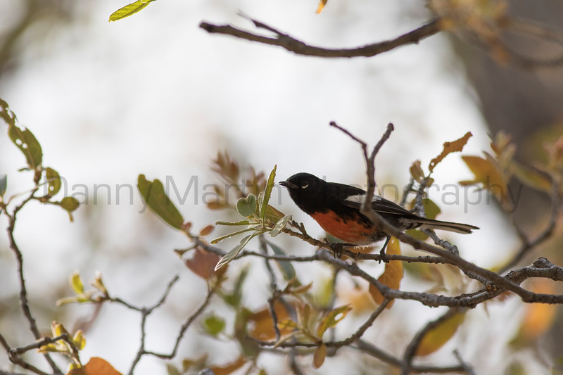 Painted Redstart<br /> Santa Cruz County, Arizona