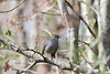 Gray Catbird (calling)<br /> Forsyth County, Georgia