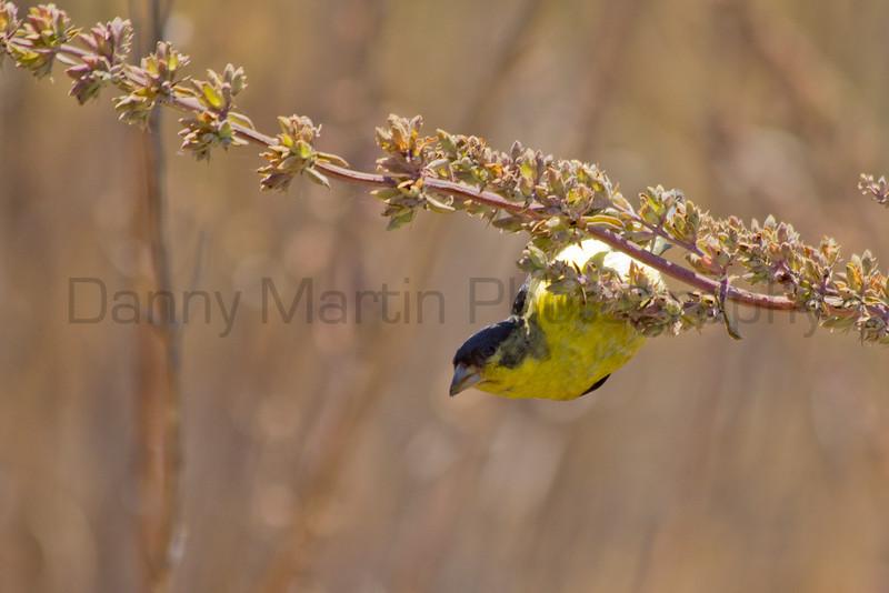 Lesser Goldfinch.  <br /> Mission Trails Regional Park, San Diego County, California.
