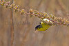 Lesser Goldfinch.  <br /> Mission Trails Regional Park, San Diego County, California.