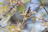 Bridled Titmouse (foraging)<br /> Santa Cruz County, Arizona