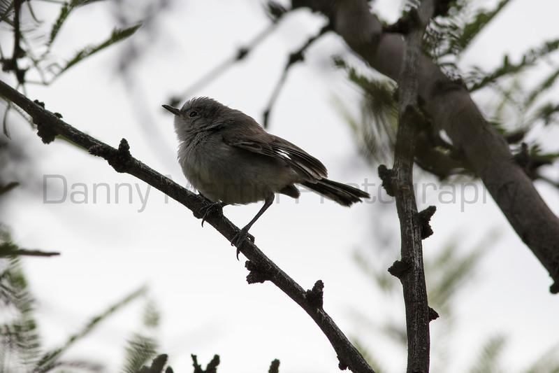 Black-tailed Gnatcatcher<br /> Pima County, Arizona