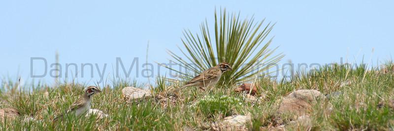Lark Sparrows, foraging.  Pawnee National Grassland, Colorado.