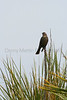 Cowbird on yucca.  <br /> Pawnee National Grassland, Weld County, Colorado.