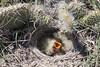 Horned Lark hatchlings<br /> Weld County, Colorado.